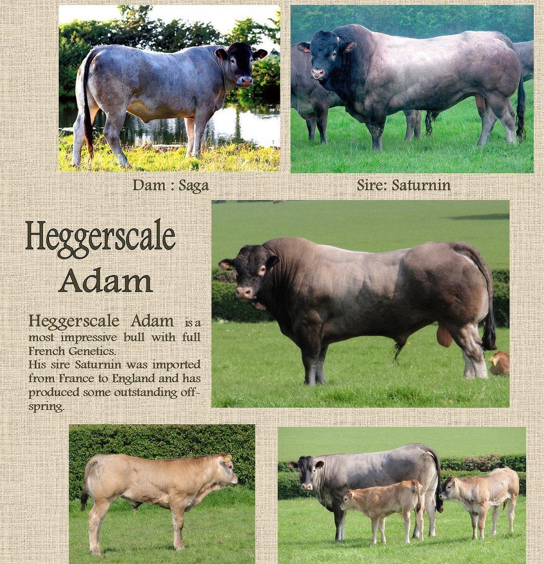 Bazadais_Australia_Heggerscale_Adam